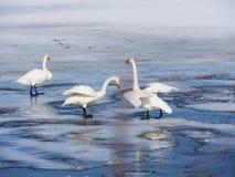 Lac swan en Suède Images stock