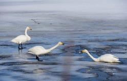 Lac swan en Suède Photo stock