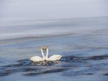 Lac swan en Suède Photos stock