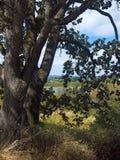 Lac swan par une paire d'arbres Images libres de droits