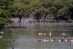 Lac Thol avec les oiseaux migrateurs d'hiver Photos stock