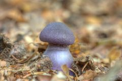 Laccaria amethystina in the forest Stock Photo