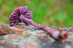 Laccaria amethystina mushroom. Known as the amethyst deceiver stock photo