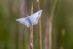 Lace border Scopula ornata. A lace border is sitting on a grass-stock stock images