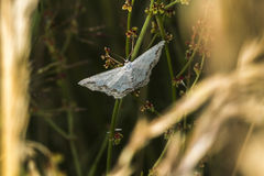 Lace border Scopula ornata. A lace border is sitting on a grass-stock royalty free stock images
