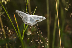 Lace border Scopula ornata. A lace border is sitting on a grass-stock stock photos