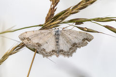 Lace border Scopula ornata. A lace border is sitting on a grass-stock royalty free stock photos