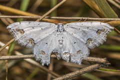 Lace border Scopula ornata. A lace border is sitting on a grass-stock stock photo