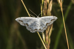 Lace border Scopula ornata Stock Images
