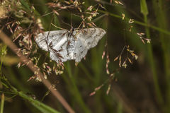 Lace border Scopula ornata Royalty Free Stock Photography