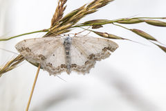 Lace border Scopula ornata. A lace border is sitting on a grass-stock royalty free stock photo