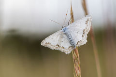 Lace border Scopula ornata. A lace border is sitting on a grass-stock royalty free stock photography