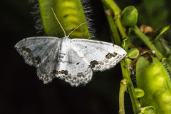 Lace border Scopula ornata. A lace border is sitting on a grass-stock royalty free stock image