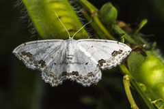 Lace border Scopula ornata. A lace border is sitting on a grass-stock stock photography