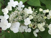 Lace cap hydrangea. White lace cap hydrangea blossoms and buds green Stock Images