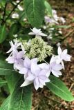 Lace-capped Hydrangea. Pale purple lace-cap hydrangea blossoms and Stock Photos