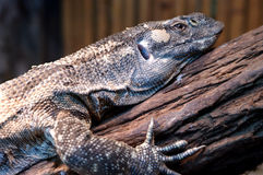 Lace Goanna (Varanus varius) or lace monitor Stock Photography