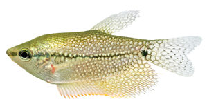 Lace Gourami fish (Pearl Gourami) Royalty Free Stock Image