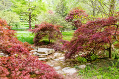 Lace Leaf Japanese Maples Stock Images