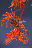 Lace leaf maple at sunrise Stock Image