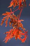 Lace leaf maple at sunrise. Lace leaf maple in Autumn at sunrise stock image