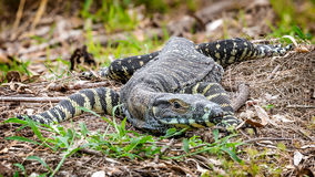 Lace monitor close scrub Royalty Free Stock Photos