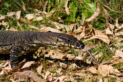 Lace Monitor or Goanna. Lace Monitor/Goanna(Varanus varius) tasting the air on the coast of Southern Queensland Stock Photography