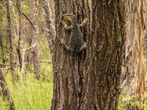 Lace Monitor. Individual climbing a tree in the forest, Queensland, Australia Stock Photo