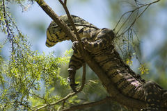 Lace Monitor Lizard. A close up of a lace monitor lizard in a tree stock image