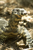 Lace Monitor lizard Royalty Free Stock Images
