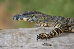 Lace monitor lizard on log royalty free stock image