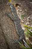 Lace monitor Royalty Free Stock Photos