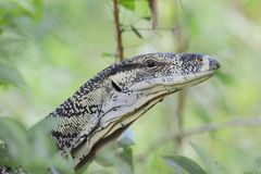 Lace monitor (Varanus varius) or goanna from Australia Royalty Free Stock Photography