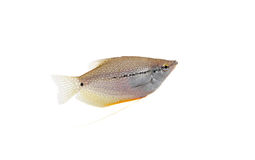 Lace or pearl gourami on white. Pearl gourami. Royalty Free Stock Photography