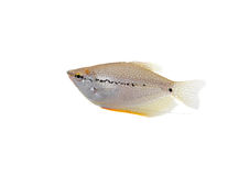 Lace or pearl gourami on white. Pearl gourami. Royalty Free Stock Photos