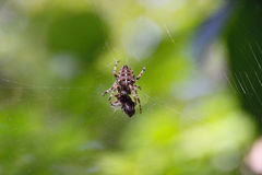 Lace Webbed Spider Stock Photos