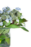 Lacecap Hydrangea Bouquet Royalty Free Stock Images