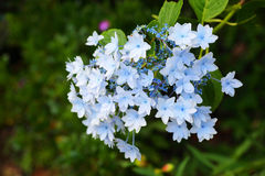 Lacecap hydrangea Royalty Free Stock Images