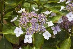 Lacecap hydranges på Trebah trädgårdar Royaltyfri Bild