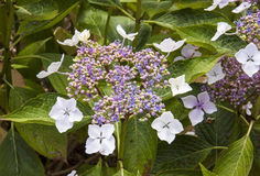 Lacecap hydranges at Trebah Gardens Royalty Free Stock Image