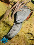 Laced moray. Honeycomb moray, tesselate moray (Gymnothorax favagineus Royalty Free Stock Photo