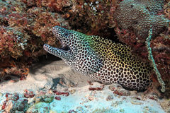Laced moray. (Gymnothorax favagineus) in the coral reef Stock Images