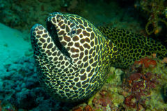 Laced moray eel. Underwater view of laced moray eel swimming in sea Royalty Free Stock Image