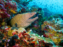 Laced moray eel. Underwater view of laced moray eel swimming in sea Stock Image