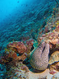 Laced moray eel Stock Image