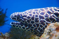 Laced moray eel Gymnothorax favagineus. Head close-up Stock Photography