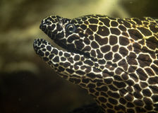 Laced moray eel & x28;Gymnothorax favagineus& x29; with mouth open. Fish, also known as the leopard moray, tessellate moray or honeycomb moray, in the family Stock Image