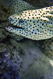 Laced moray eel  Gymnothorax favagineus. Underwater marine predator, its color like a leopard Stock Images