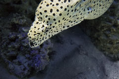 Laced moray eel  Gymnothorax favagineus. Underwater marine predator, its color like a leopard Royalty Free Stock Photo