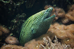 Free Laced Moray Gymnothorax Favagineus Stock Photography - 80500802
